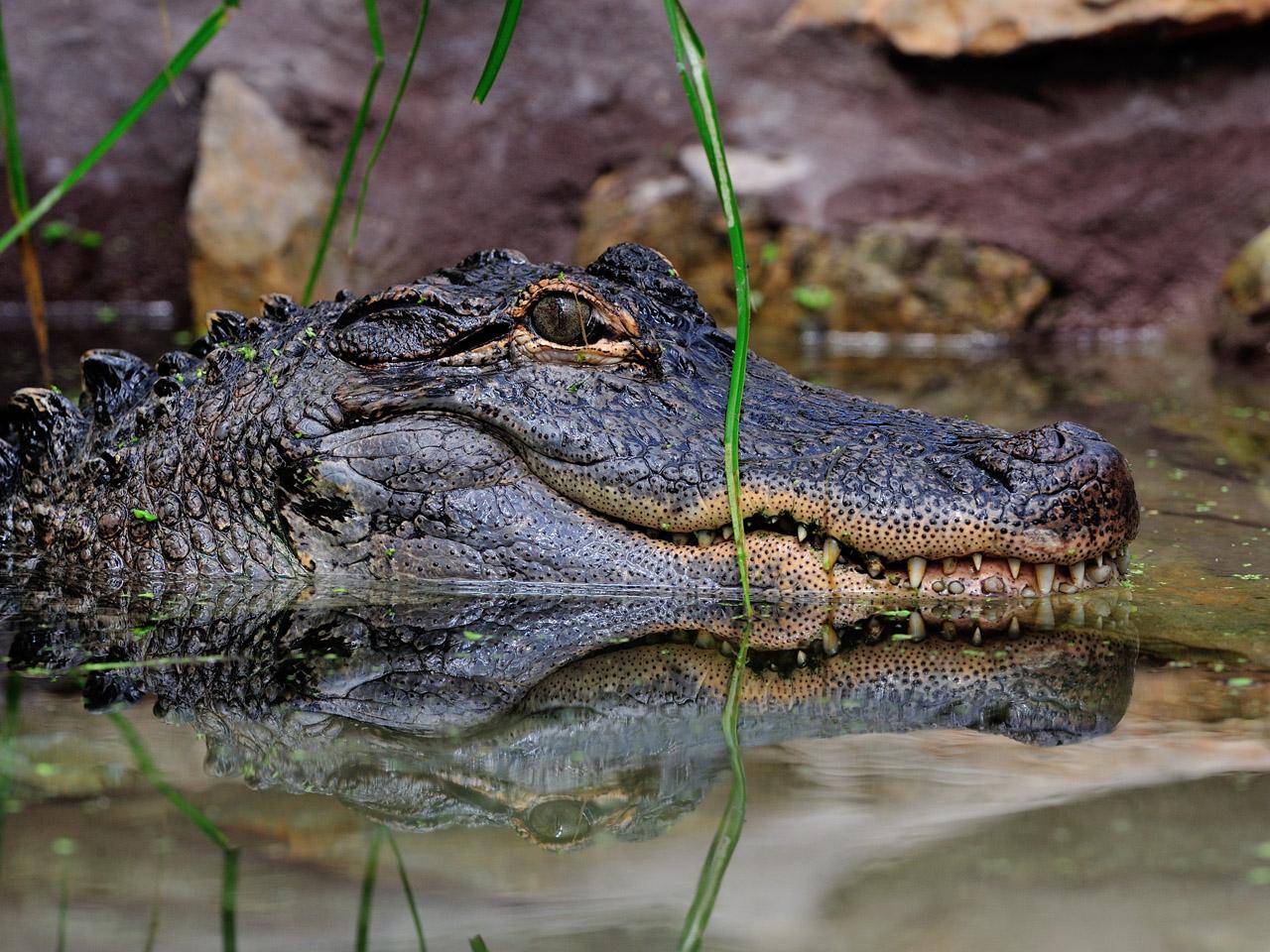 Alligator du Mississippi à la Réserve Africaine de Sigean
