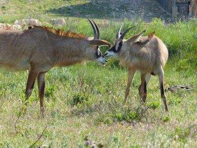 Antilope lors de la visite du parc à pied