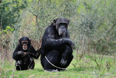 Famille de chimpanzé