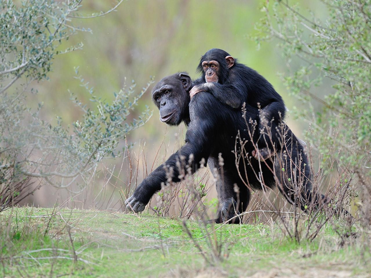 Chimpanzé lors de la visite du parc à pied