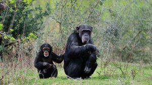 Famille de chimpanzés à Sigean