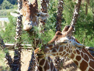 Girafe lors du safari en voiture
