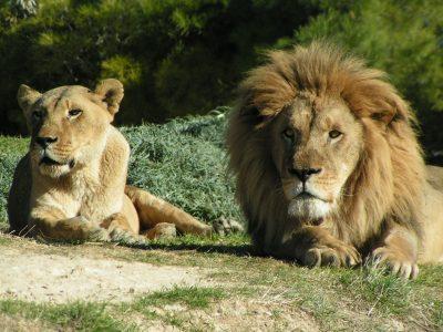 Lion lors du safari en voiture
