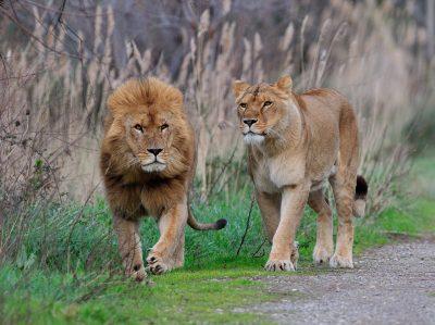 Lion et lionne à la Réserve Africaine de Sigean