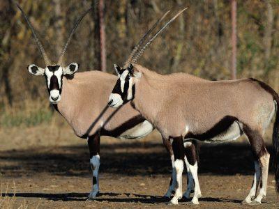 Oryx lors de la visite du parc à pied
