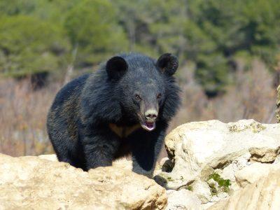 Ours du Tibet dans le circuit en voiture de la Réserve Africaine de Sigean