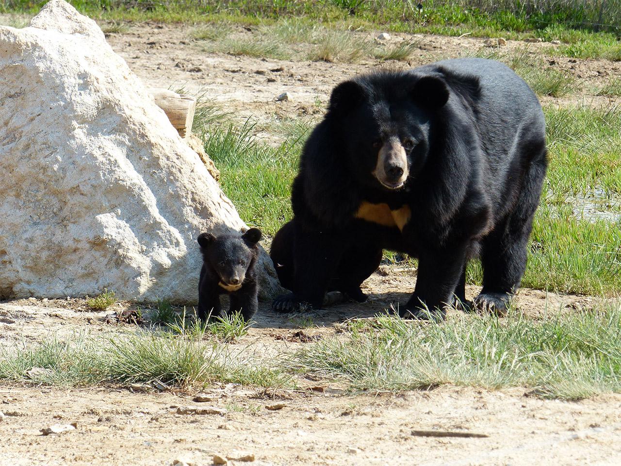 Ours du tibet lors du safari en voiture