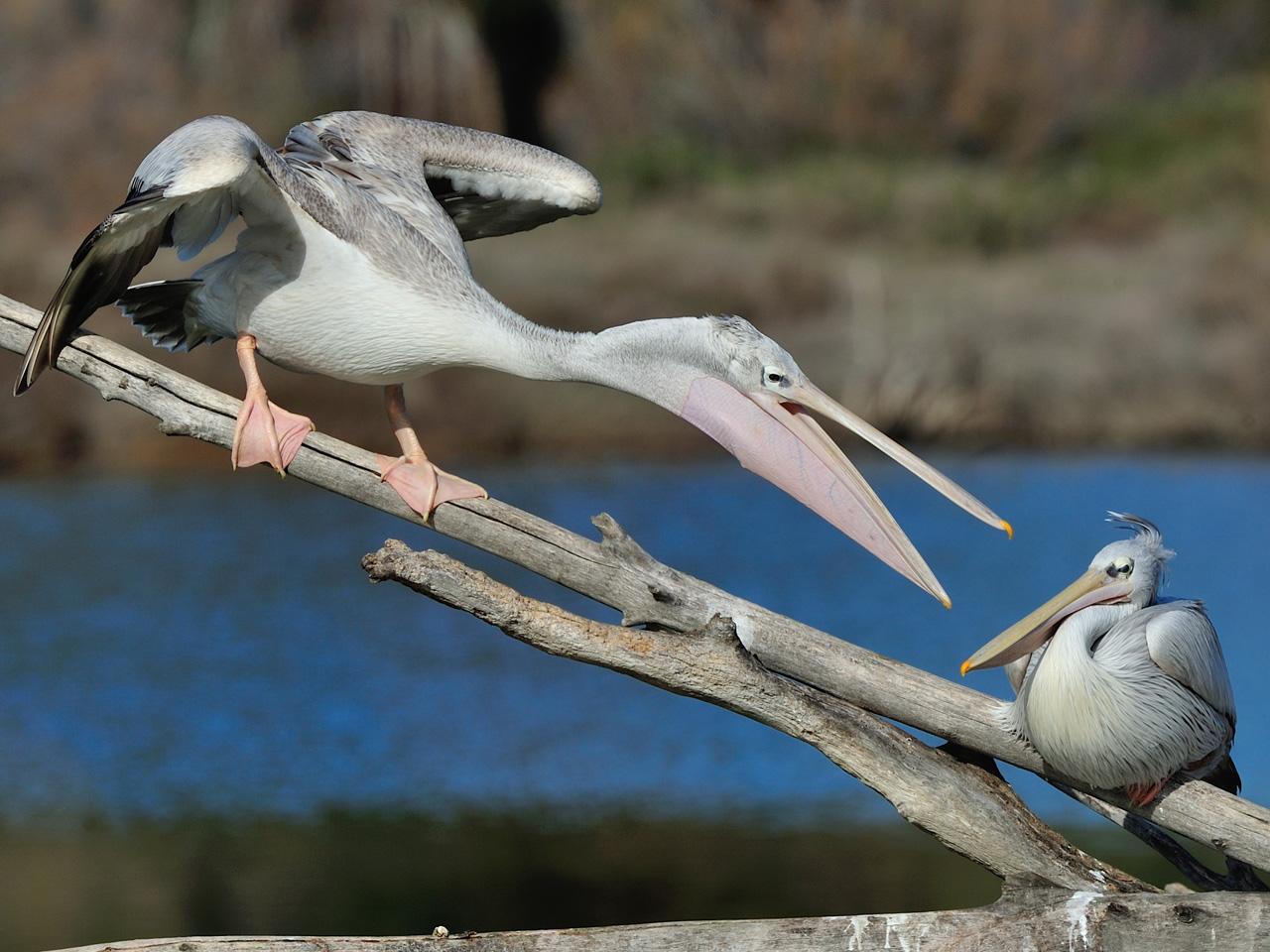 Pélicans à dos rosé à la Réserve Africaine de Sigean