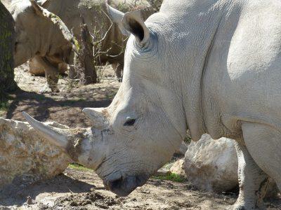 Rhinocéros Blanc lors du safari en voiture