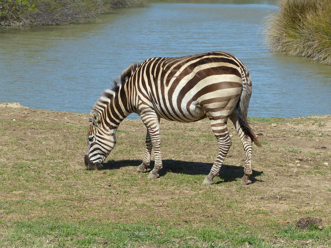 Zebre lors du safari en voiture