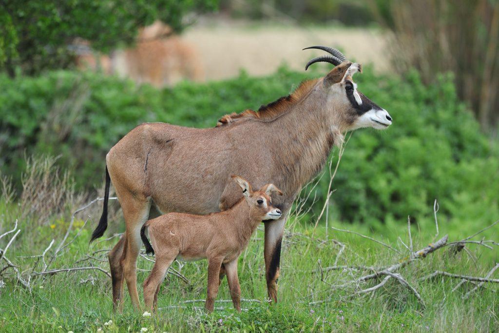 Antilope rouanne né à la Réserve Africaine de Sigean