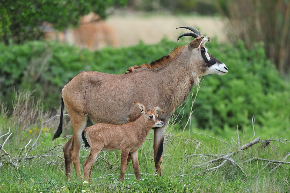 Roan antelope born at the Réserve Africaine de Sigean