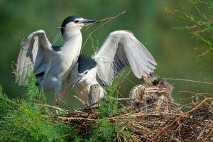 Black-crowned Night Herons born at the Réserve Africaine de Sigean