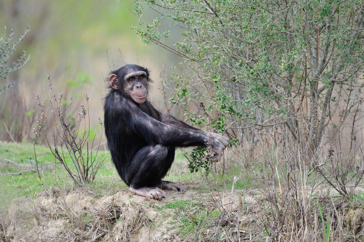 Chimpanze cueillette