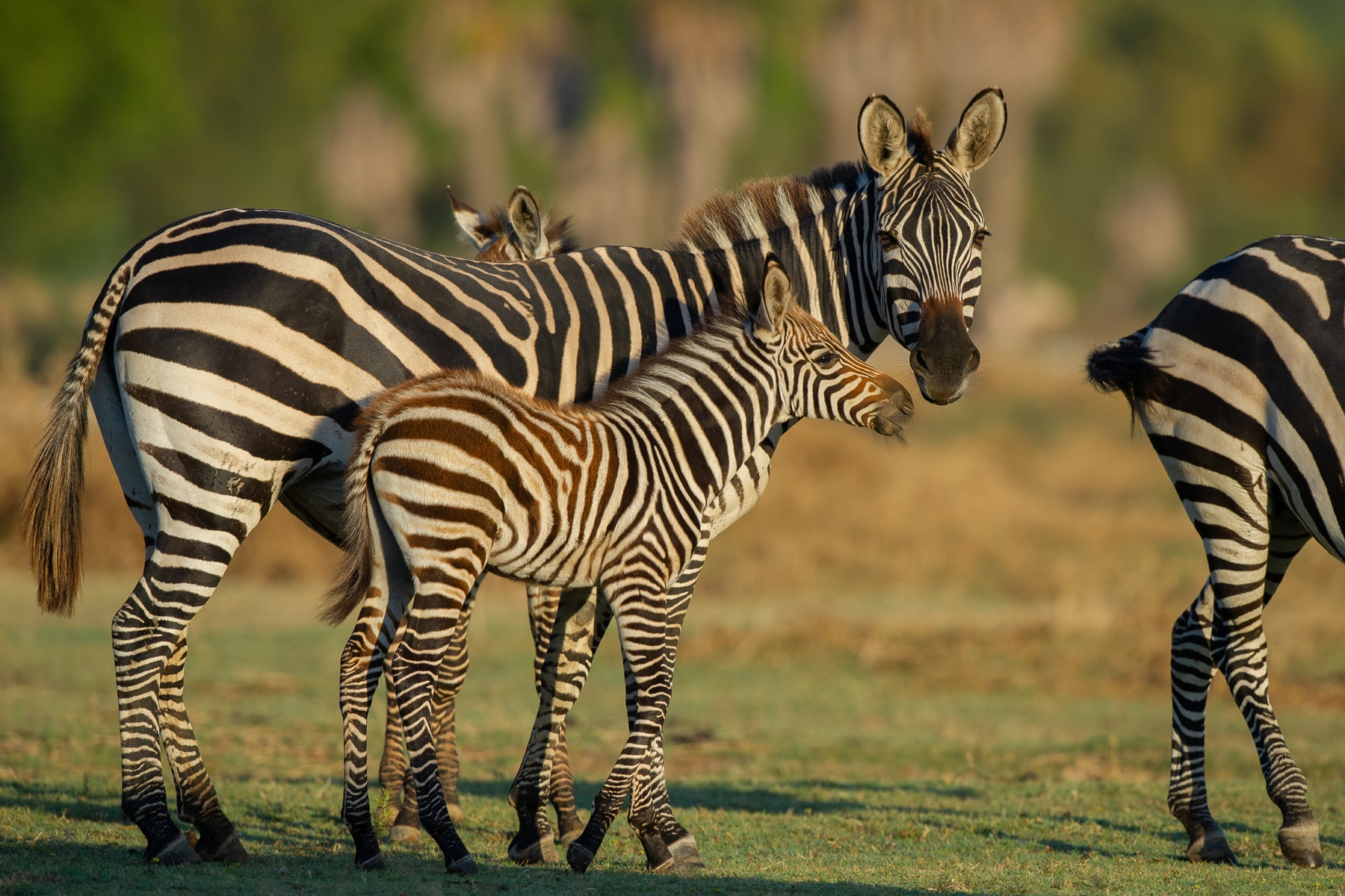 Grant Zebra born at the Réserve Africaine de Sigean