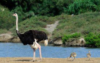 Avestruces nacidas en la Réserve Africaine de Sigean