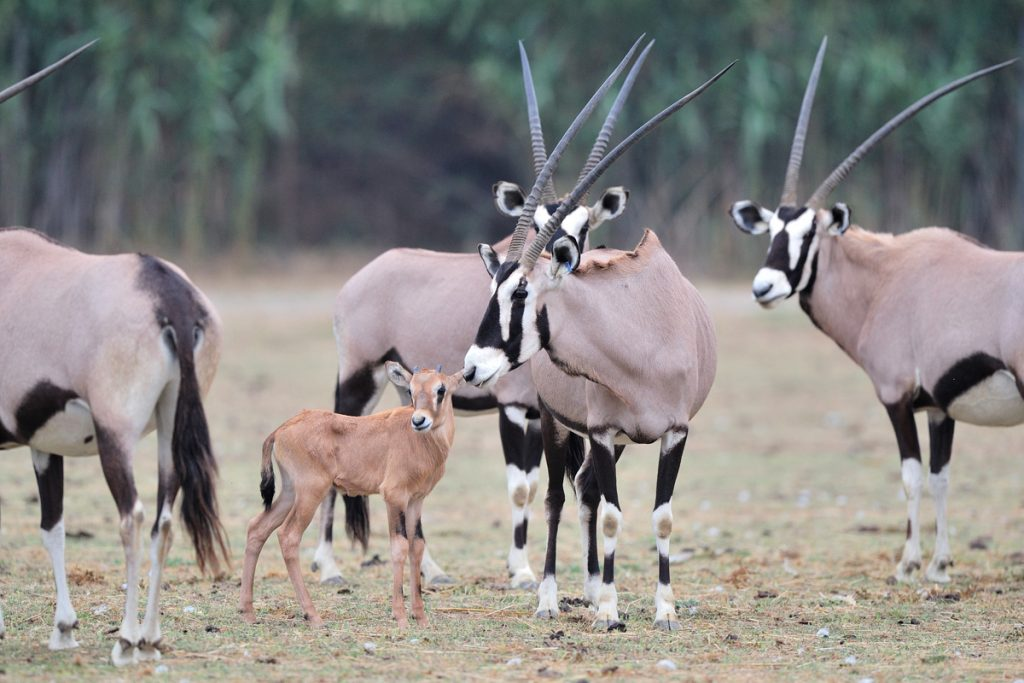 Oryx gemsbok né à la Réserve Africaine de Sigean