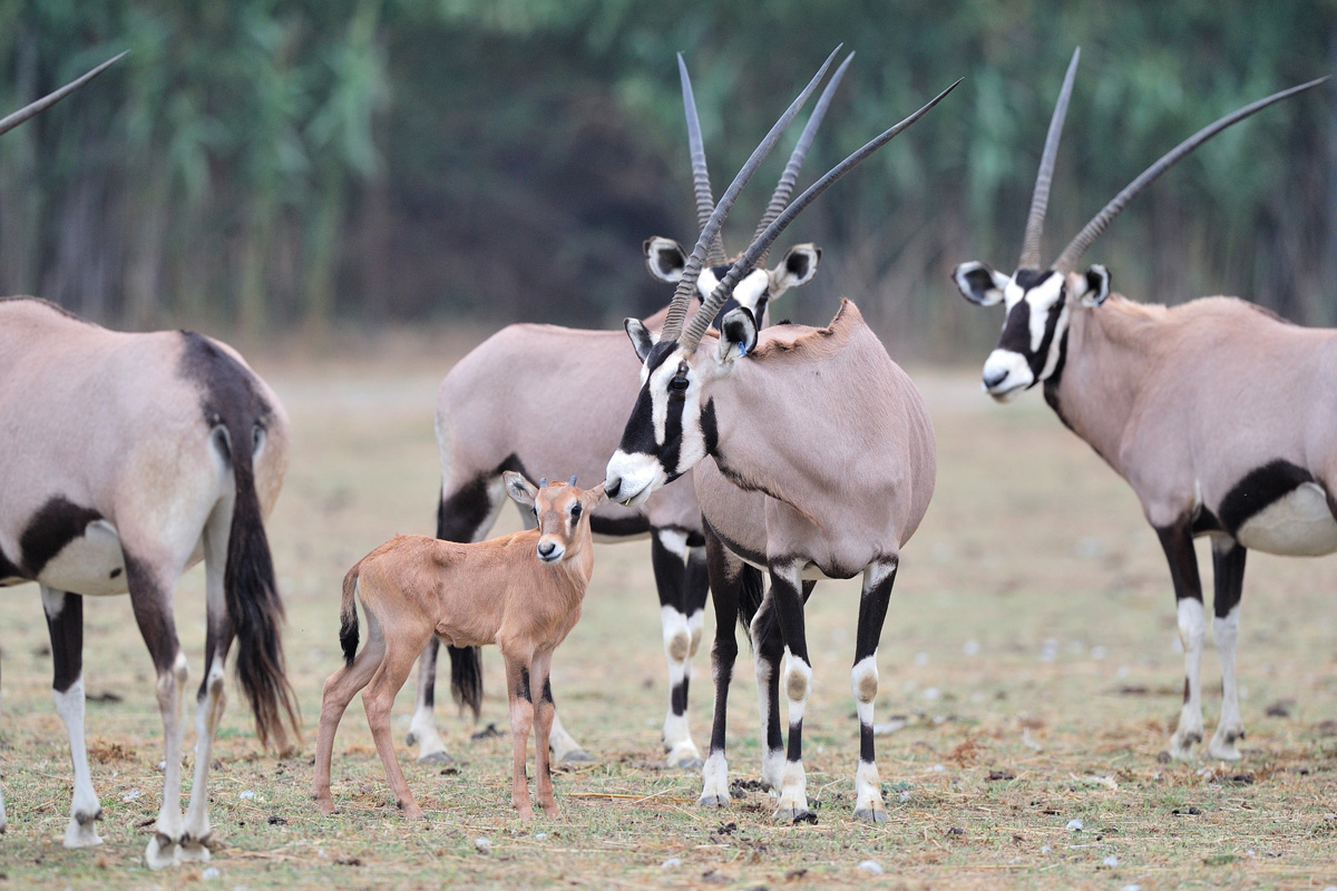 Gemsbok born at the Réserve Africaine de Sigean