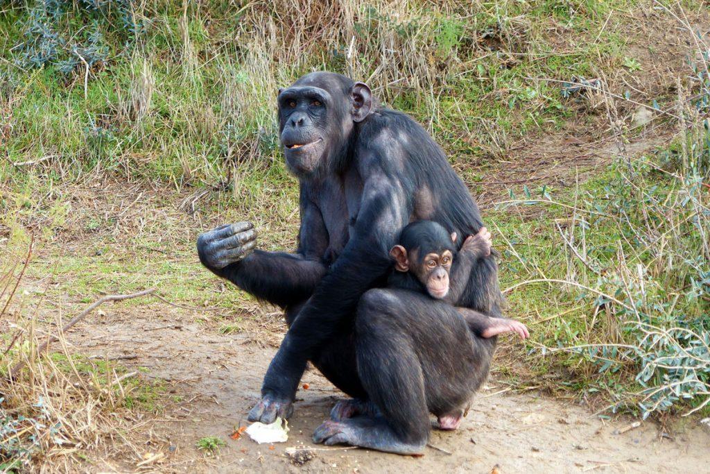 Chimpanzé né à la Réserve Africaine de Sigean