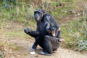 Chimpanzee born at the Réserve Africaine de Sigean