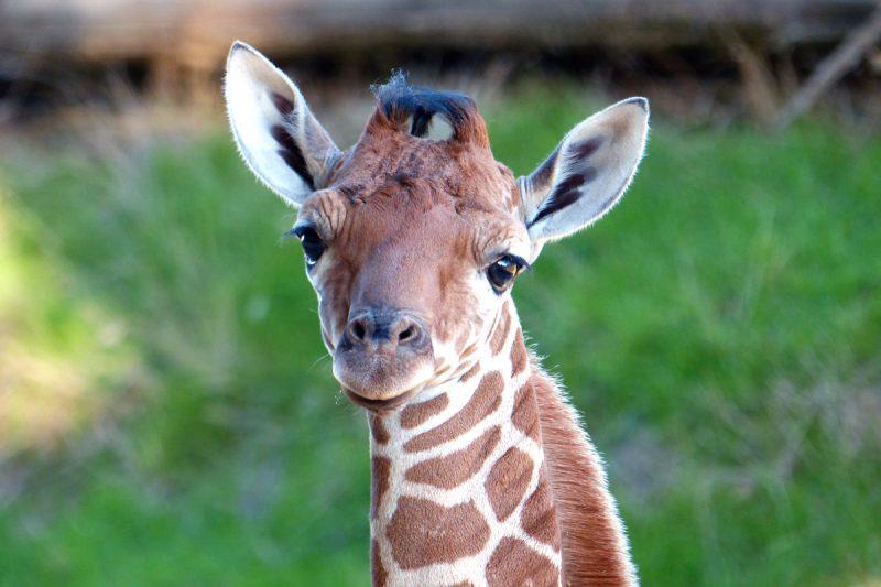 Girafe réticulée née à la Réserve Africaine de Sigean