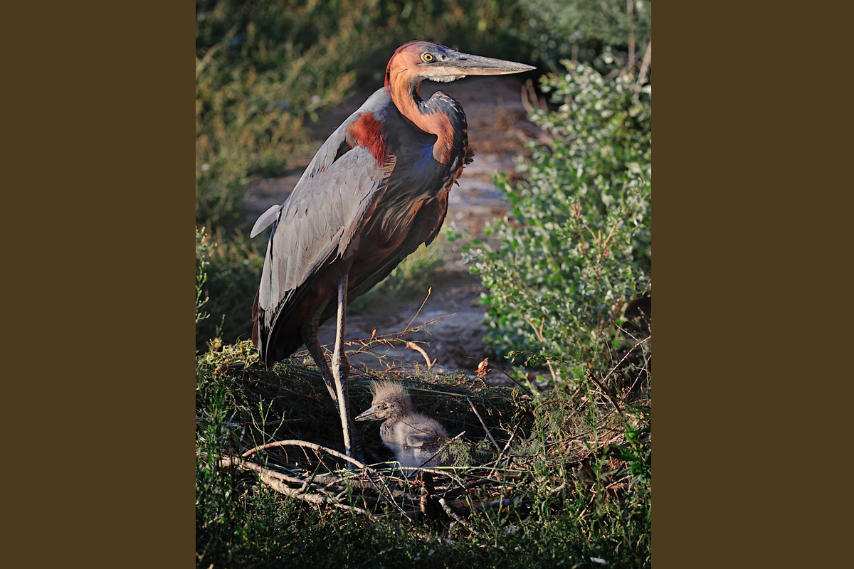 Goliath Heron born at the Réserve Africaine de Sigean