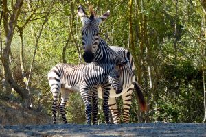 Hartmann's mountain zebra born at the Réserve Africaine de Sigean