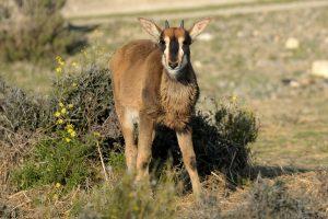 Antilop cavallí nascut a la Réserve Africaine de Sigean
