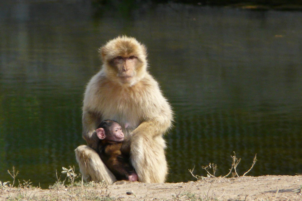 Barbary ape born at the Réserve Africaine de Sigean