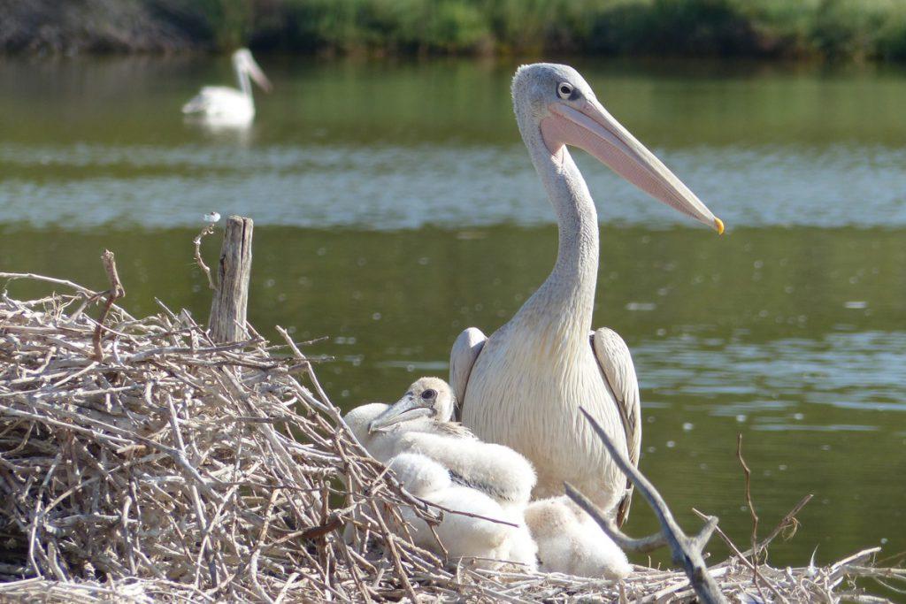 Pélicans à dos rosé nés à la Réserve Africaine de Sigean