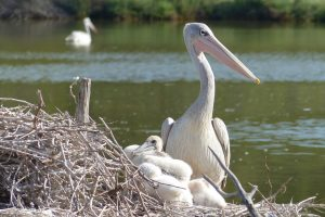 Pink-backed Pelicans born at the Réserve Africaine de Sigean