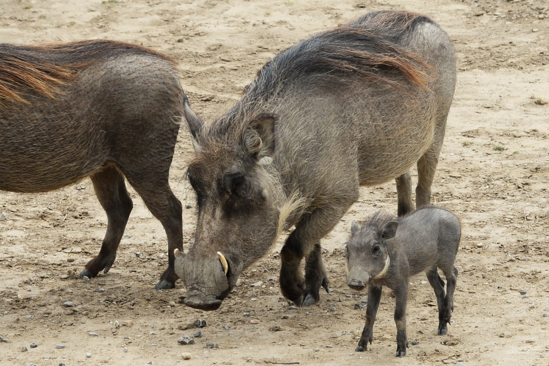 Common Warthog born at the Réserve Africaine de Sigean