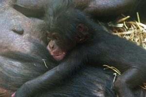Chimpanzee born in the Réserve Africaine de Sigean