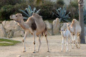 Dromadaire né à la Réserve Africaine de Sigean