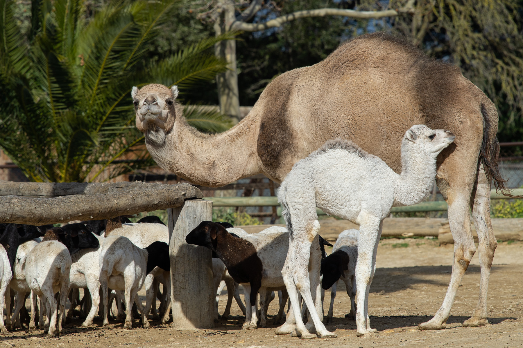 Dromedary born at the Réserve Africaine de Sigean