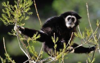 Gibbon à mains blanches à la Réserve Africaine de Sigean