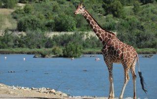 Girafe réticulée à la Réserve Africaine de Sigean