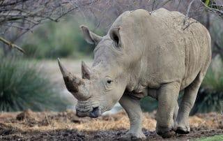 Rhinocéros blanc à la Réserve Africaine de Sigean