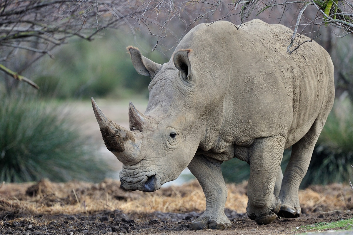 Rhinoceros Blanc Reserve Africaine De Sigean