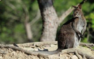 Wallaby à la Réserve Africaine de Sigean