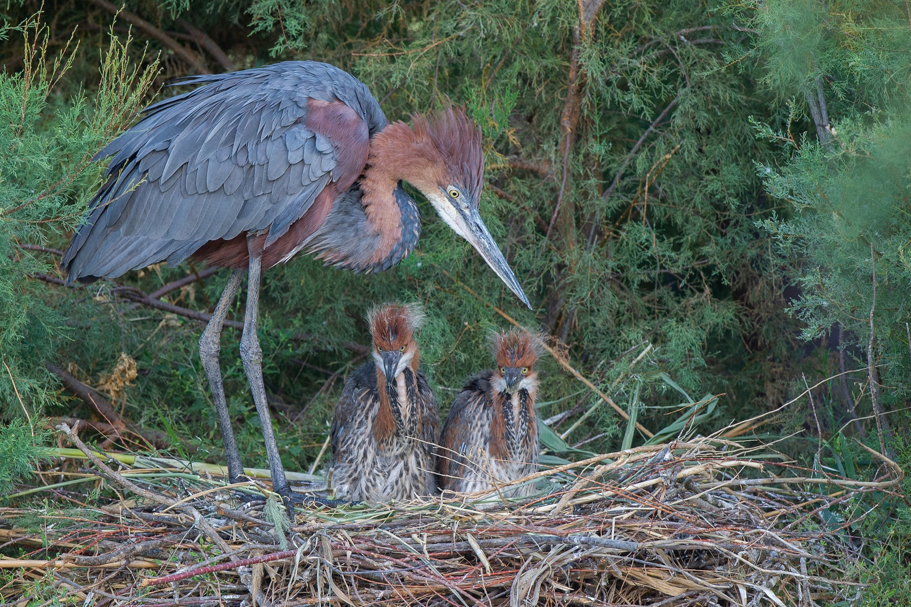 Goliath Herons born at the Réserve Africaine de Sigean