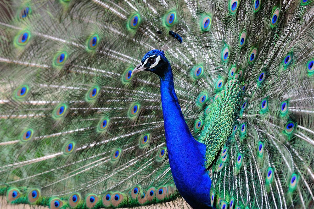 Paon bleu