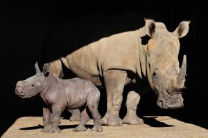 White rhinoceros born at the Réserve Africaine de Sigean