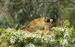 Saïmiri avec un bébé sur le dos