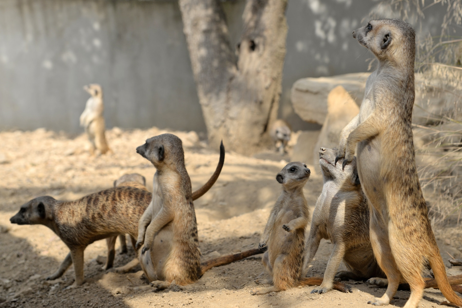 Meerkat born at the Réserve Africaine de Sigean