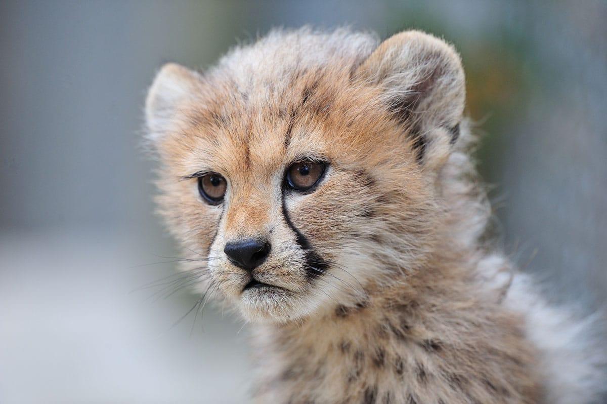 Bébé guépard à la Réserve Africaine de Sigean
