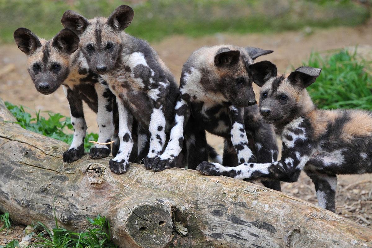 Bébés lycaons à la Réserve Africaine de Sigean