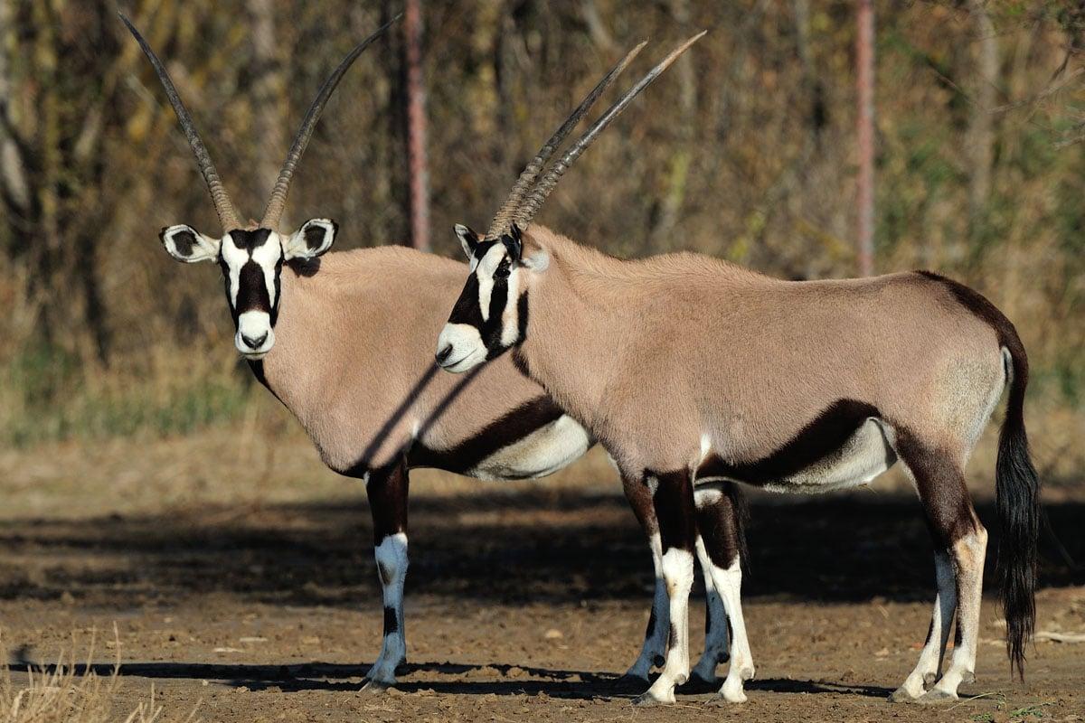 Oryx gemsbok à la Réserve Africaine de Sigean