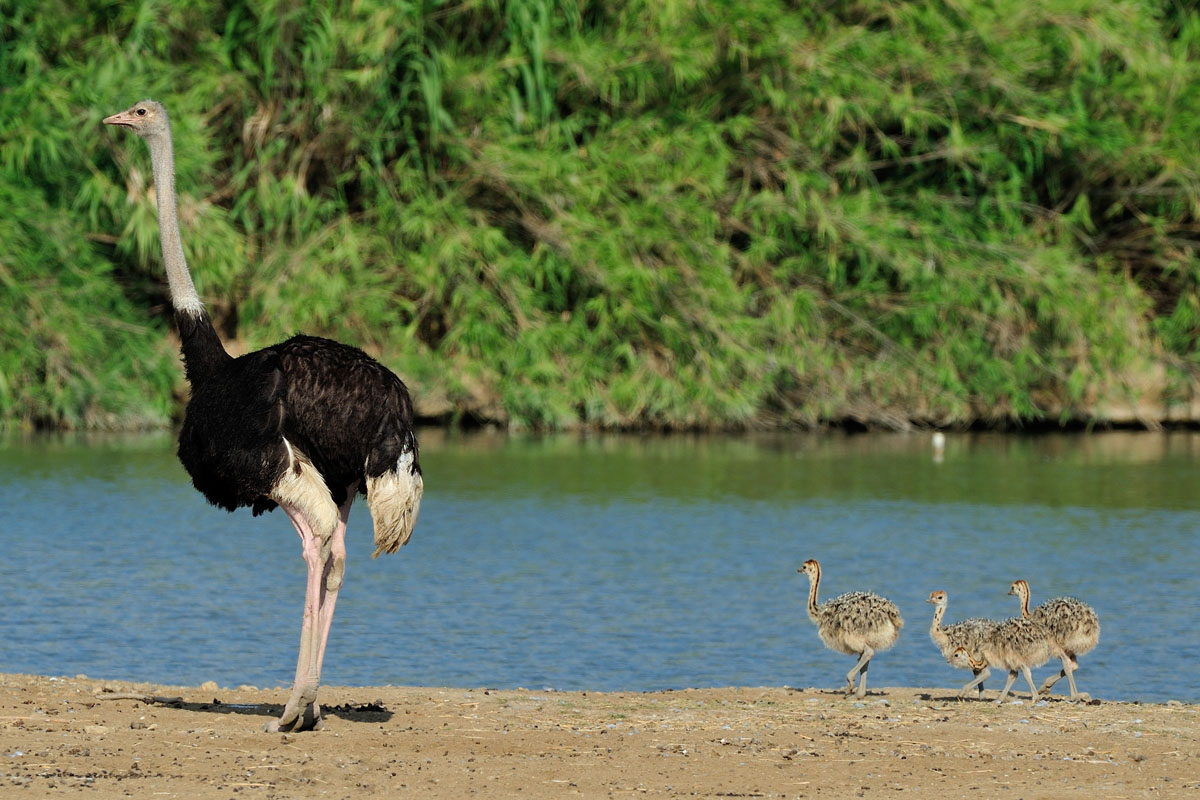 Ostriches born at the Réserve Africaine de Sigean