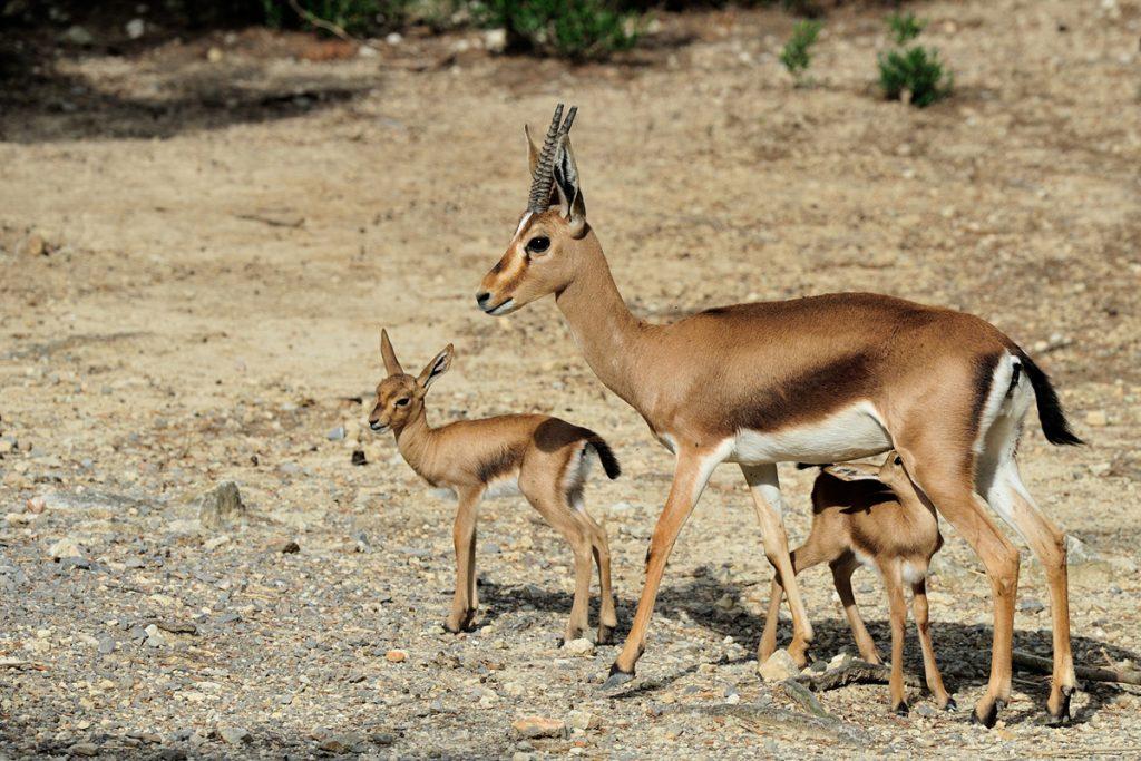 Gazelles de Cuvier nés à la Réserve Africaine de Sigean